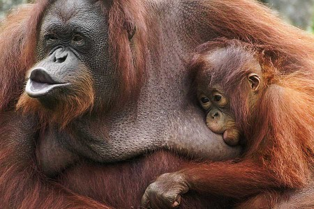 En Indonésie, les orangs-outans contre-attaquent