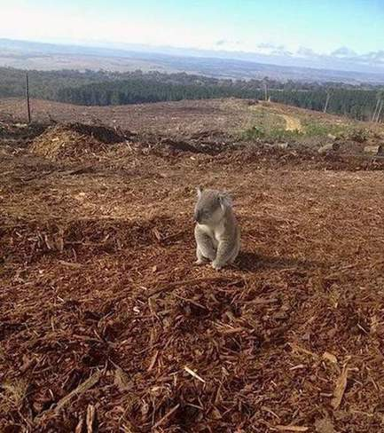 Une photo d'un koala fait le tour du web