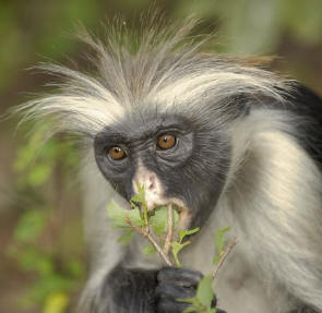 The Zanzibar red colobus Colobus badius kirk endangered in Africa