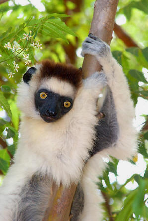 Sifaka of Verreaux, Propithecus Verreaux endangered in Madagascar