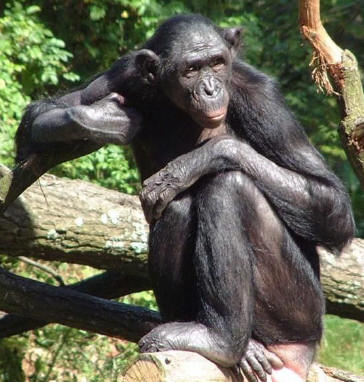 The Bonobo endangered in Africa
