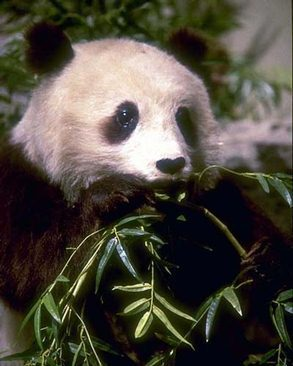 The Giant Panda endangered in China
