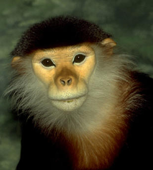The Douc endangered in central Vietnam to the east-central Cambodia.
