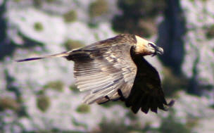 The bearded vulture is one of the largest vulture in Europe, but it is also one of the most rare. There are now fewer than 50 couples in France, including 29 in the Pyrenees.
