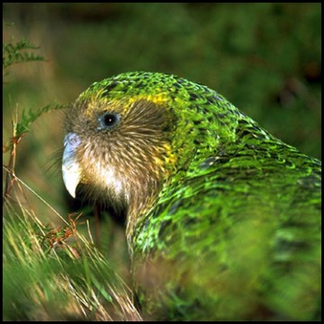 Le Medium Kakapo en voie de disparition
