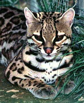 The Ocelot Endangered