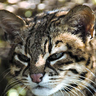 Ocelot en voie de disparition