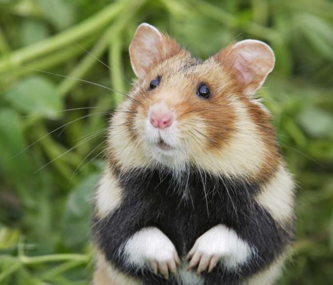 L'Europe condamne la France pour insuffisance de protection du Grand hamster